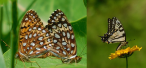 Sutton Conservation Commission Presents: Sutton Butterfly Society @ sutton free library | Bradford | New Hampshire | United States